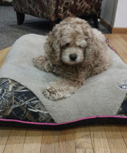 Copper on his magic carpet. Before surgery.
